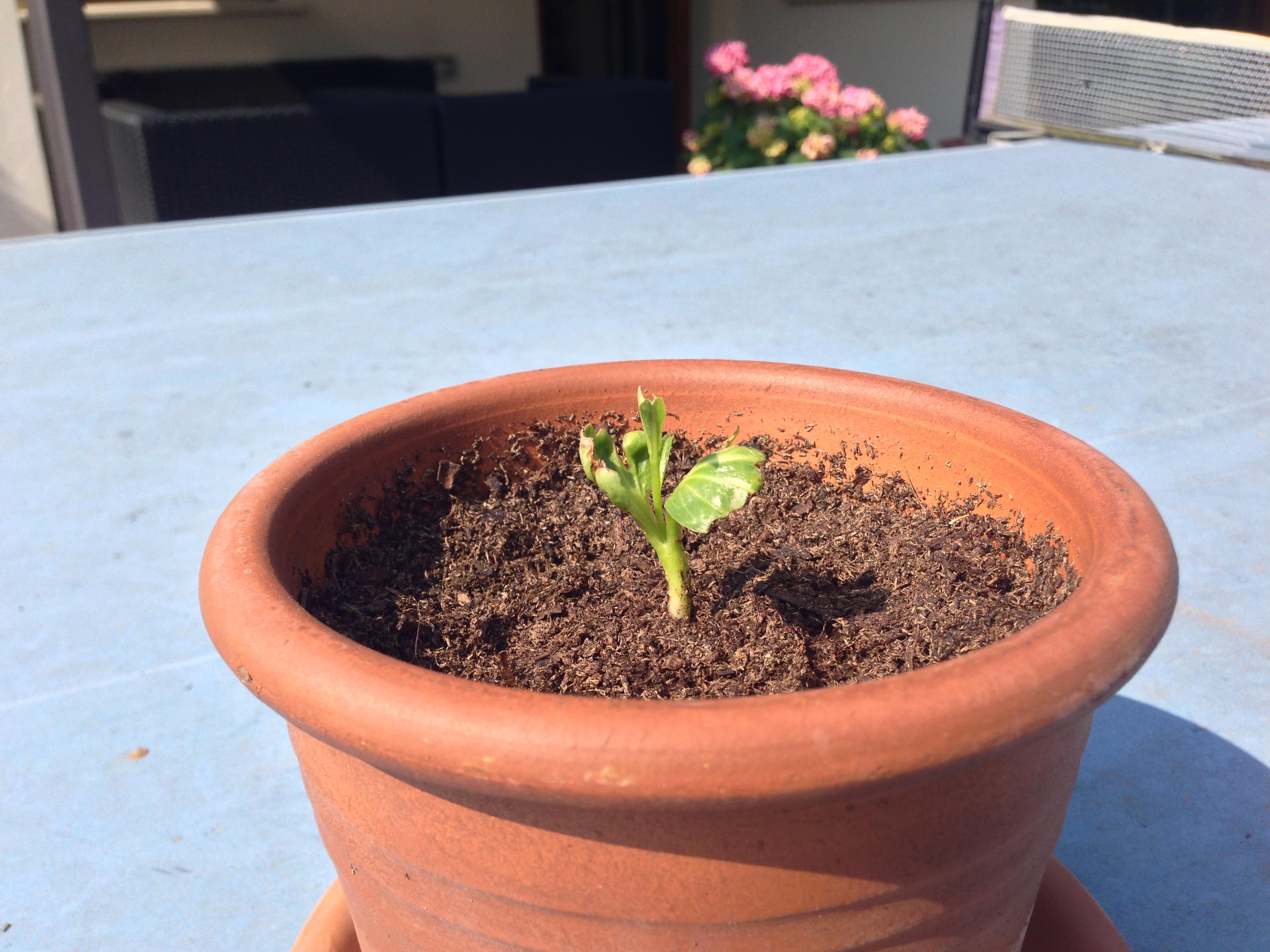Come Piantare Il Mango coltivazione   starbabs