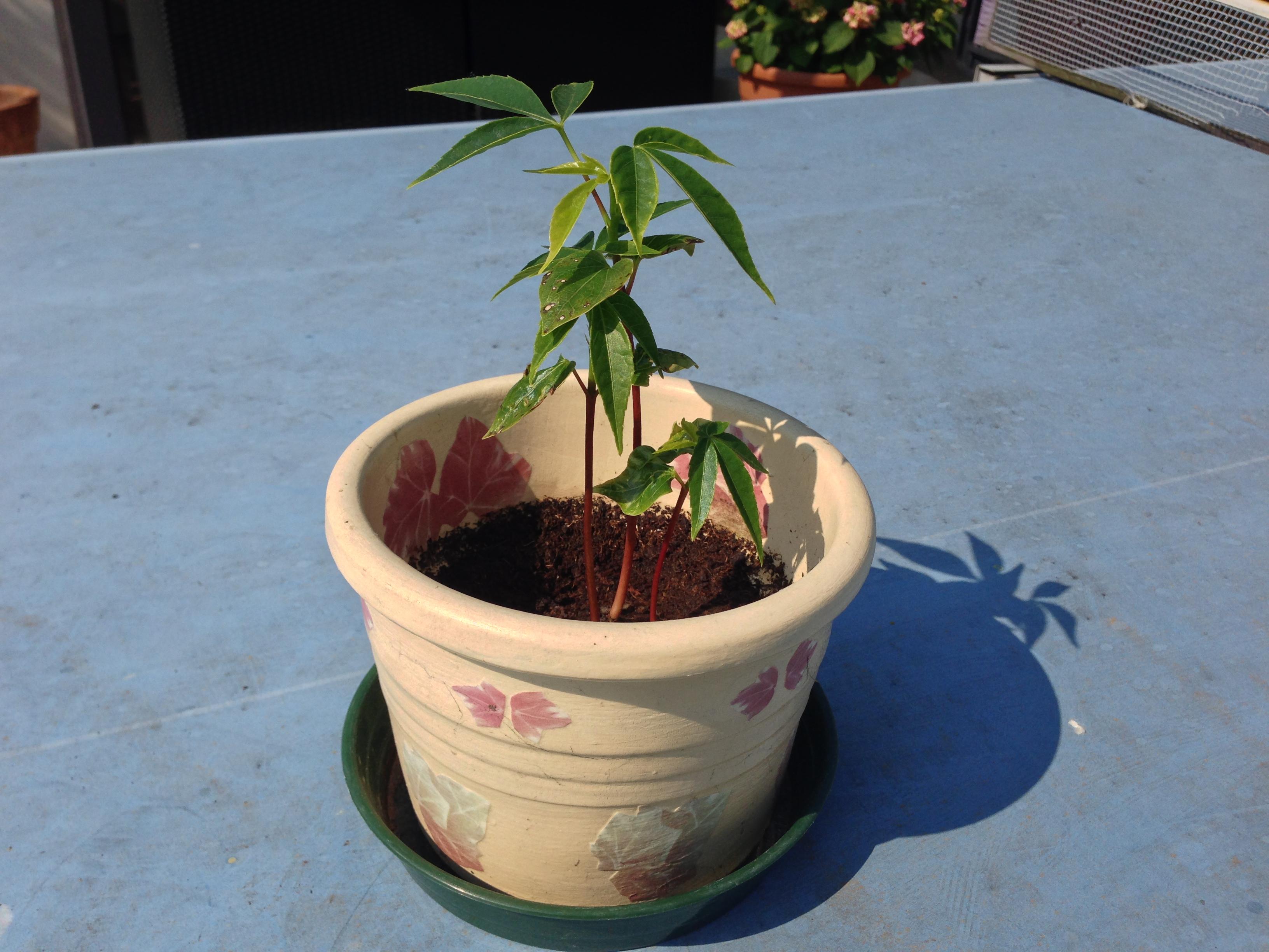Come Piantare Il Mango germinazione   starbabs